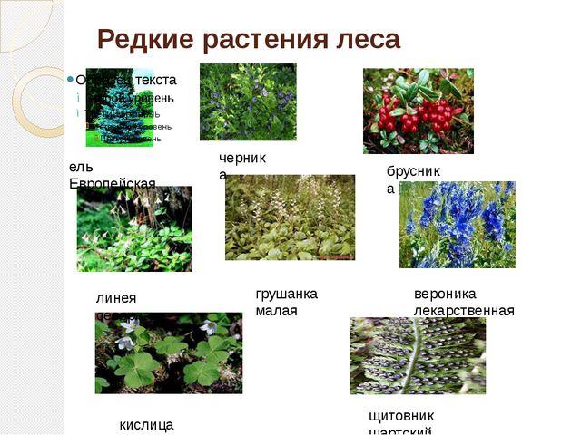 Редкие растения леса ель Европейская черника брусника линея северная грушанка...
