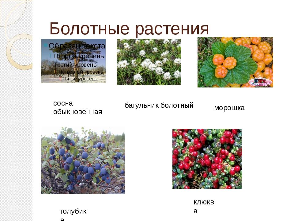 Болотные растения сосна обыкновенная багульник болотный морошка голубика клюква