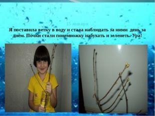 15 января Я поставила ветку в воду и стала наблюдать за ними день за днём. П