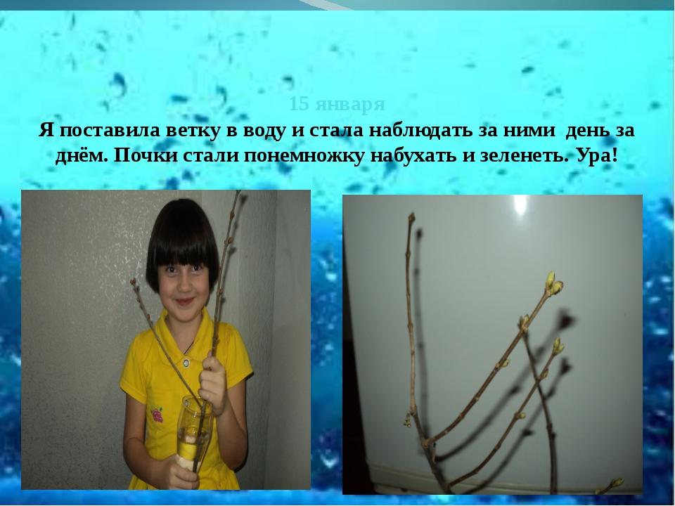 15 января Я поставила ветку в воду и стала наблюдать за ними день за днём. П...