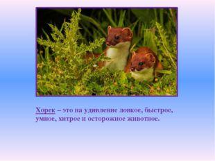 Хорек – это на удивление ловкое, быстрое, умное, хитрое и осторожное животное.
