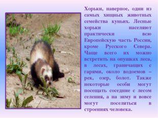 Хорьки, наверное, одни из самых хищных животных семейства куньих. Лесные хорь
