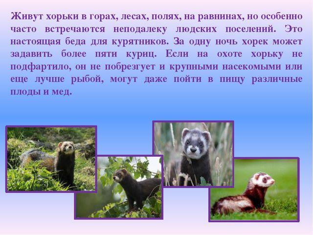 Живут хорьки в горах, лесах, полях, на равнинах, но особенно часто встречаютс...