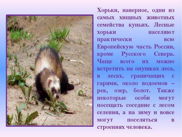 Хорьки, наверное, одни из самых хищных животных семейства куньих. Лесные хорь...