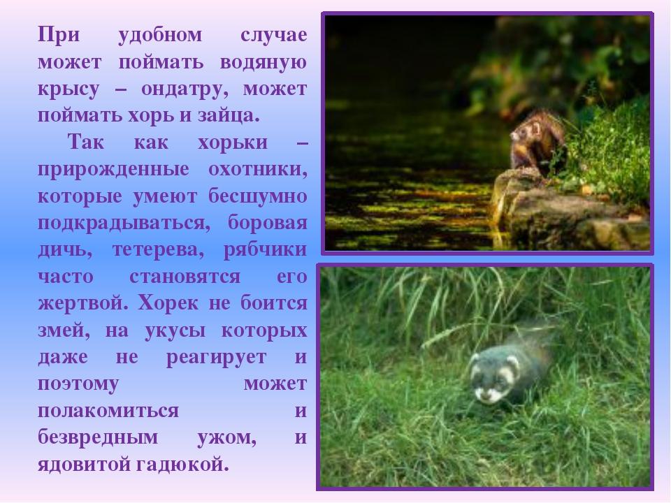 При удобном случае может поймать водяную крысу – ондатру, может поймать хорь...