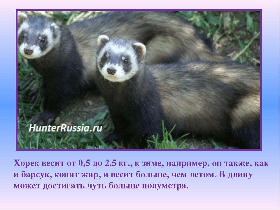 Хорек весит от 0,5 до 2,5 кг., к зиме, например, он также, как и барсук, копи...