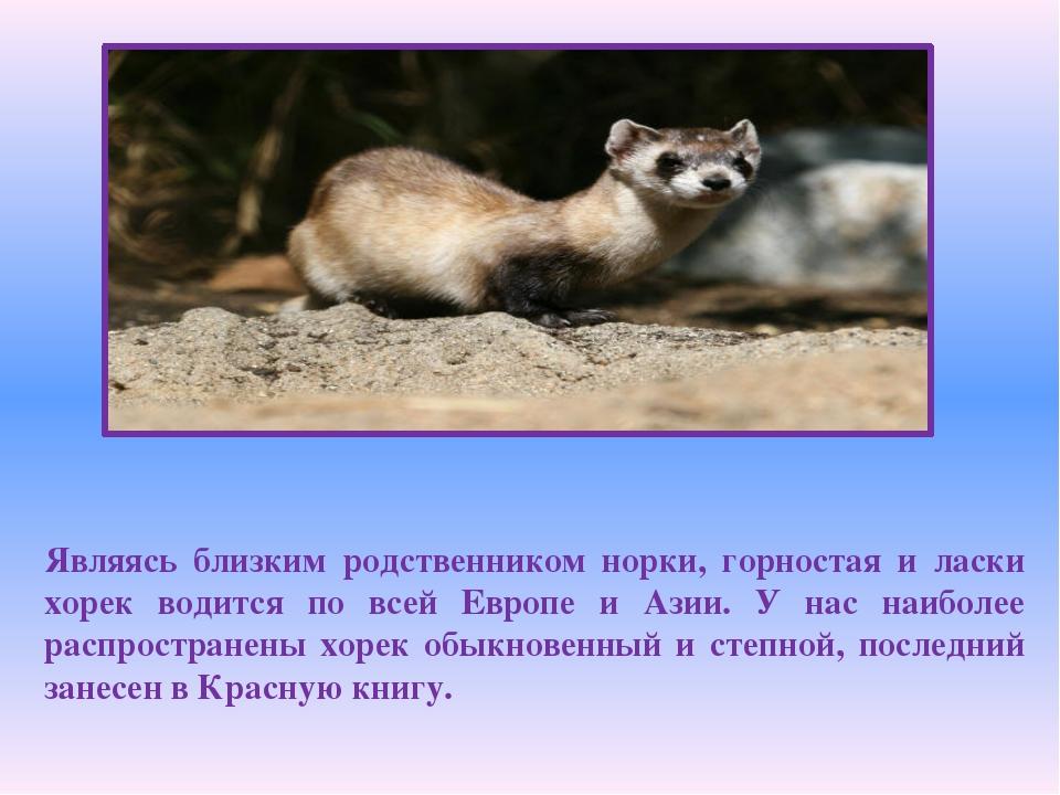 Являясь близким родственником норки, горностая и ласки хорек водится по всей...