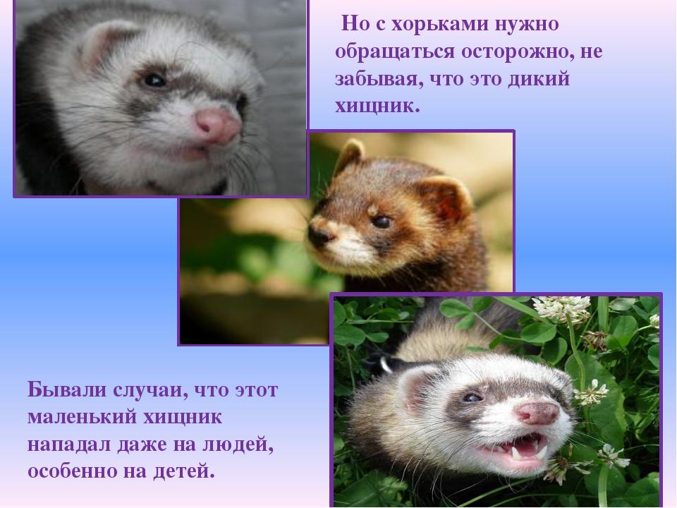 Но с хорьками нужно обращаться осторожно, не забывая, что это дикий хищник....