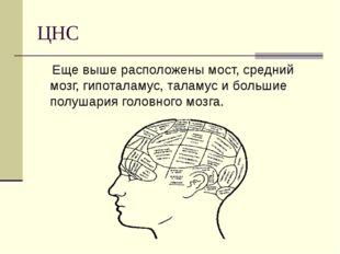 ЦНС Еще выше расположены мост, средний мозг, гипоталамус, таламус и большие п