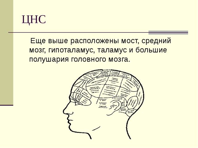 ЦНС Еще выше расположены мост, средний мозг, гипоталамус, таламус и большие п...