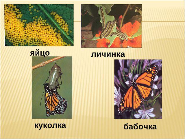 яйцо личинка куколка бабочка