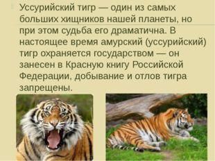 Уссурийский тигр — один из самых больших хищников нашей планеты, но при этом