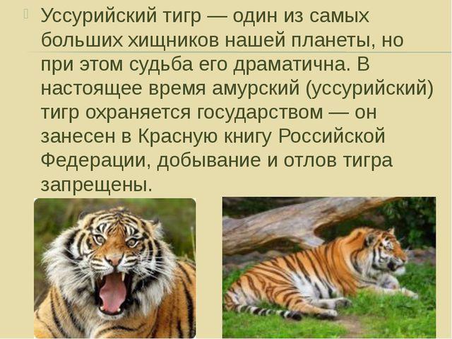 Уссурийский тигр — один из самых больших хищников нашей планеты, но при этом...