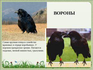 Самая крупная птица в семействе врановых и отряде воробьиных. У воронов прекр