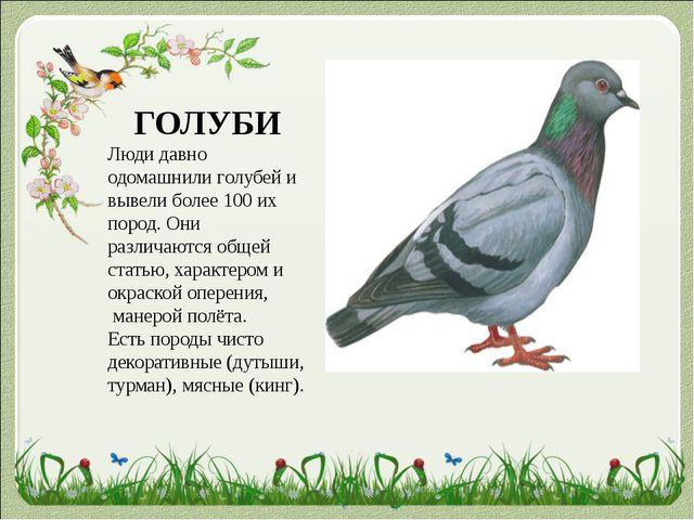 ГОЛУБИ Люди давно одомашнили голубей и вывели более 100 их пород. Они различа...