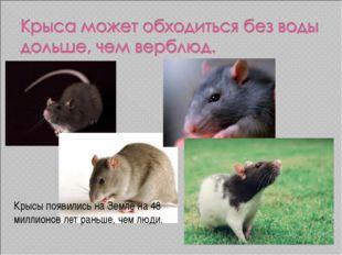 Крысы появились на Земле на 48 миллионов лет раньше, чем люди.
