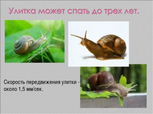 Скорость передвижения улитки - около 1,5 мм/сек.