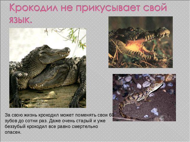 За свою жизнь крокодил может поменять свои 60 зубов до сотни раз. Даже очень...