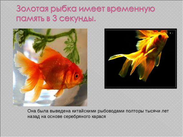 Она была выведена китайскими рыбоводами полторы тысячи лет назад на основе се...