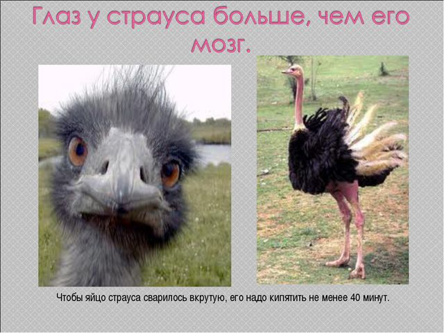 Чтобы яйцо страуса сварилось вкрутую, его надо кипятить не менее 40 минут.