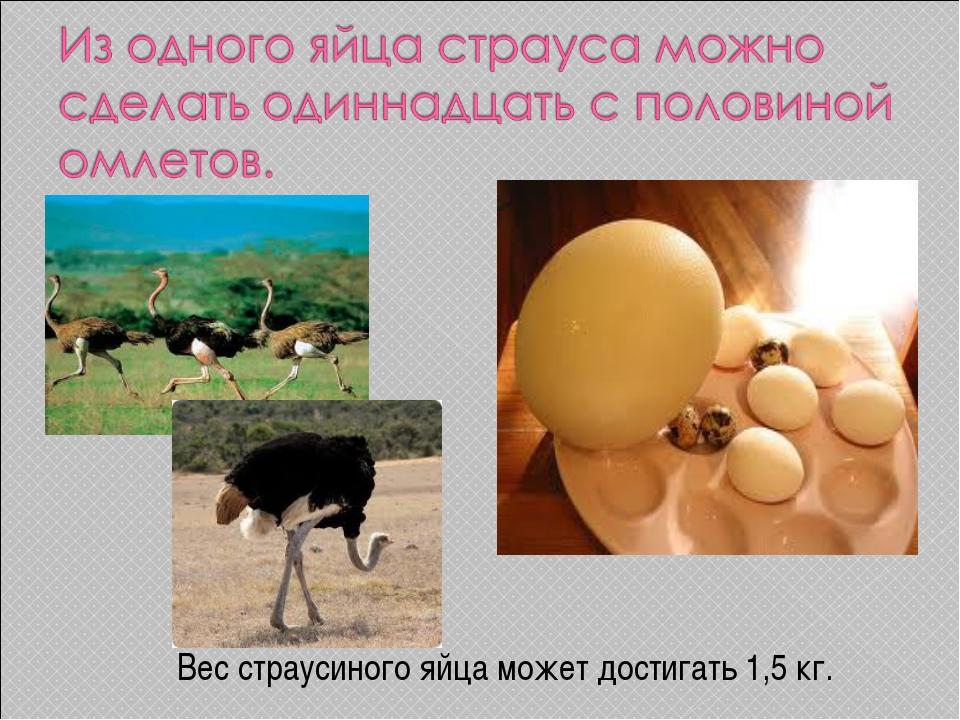 Вес страусиного яйца может достигать 1,5 кг.
