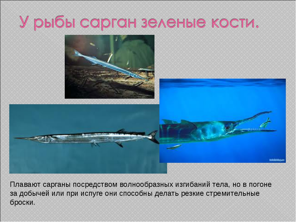 Плавают сарганы посредством волнообразных изгибаний тела, новпогоне задобы...