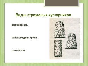 Виды стриженых кустарников Шаровидная, колоновидная крона, коническая