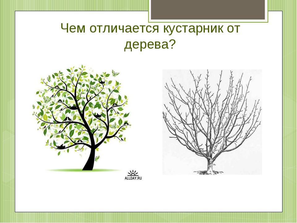 Чем отличается кустарник от дерева?