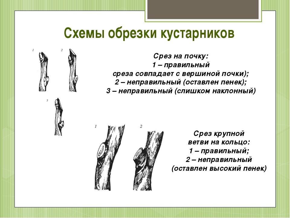 Схемы обрезки кустарников Срез на почку: 1 – правильный среза совпадает с вер...