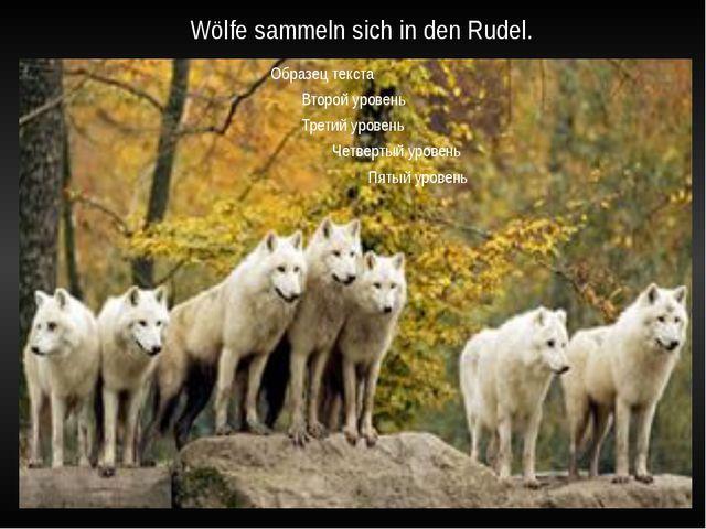 Wölfe sammeln sich in den Rudel.