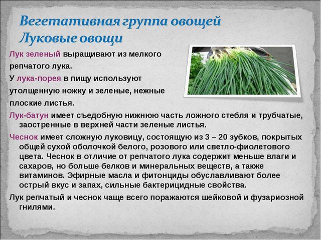 Лук зеленый выращивают из мелкого репчатого лука. У лука-порея в пищу использ...