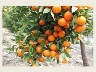 Апельсина брат меньшой, Потому как небольшой. мандарин
