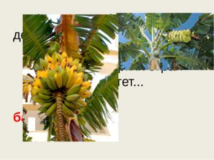 Знают этот фрукт детишки, Любят есть его мартышки. Родом он из жарких стра