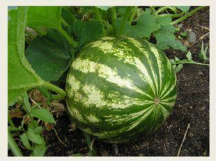 Этот плод едва обнимешь, если слаб, то не поднимешь, На куски его порежь, мя