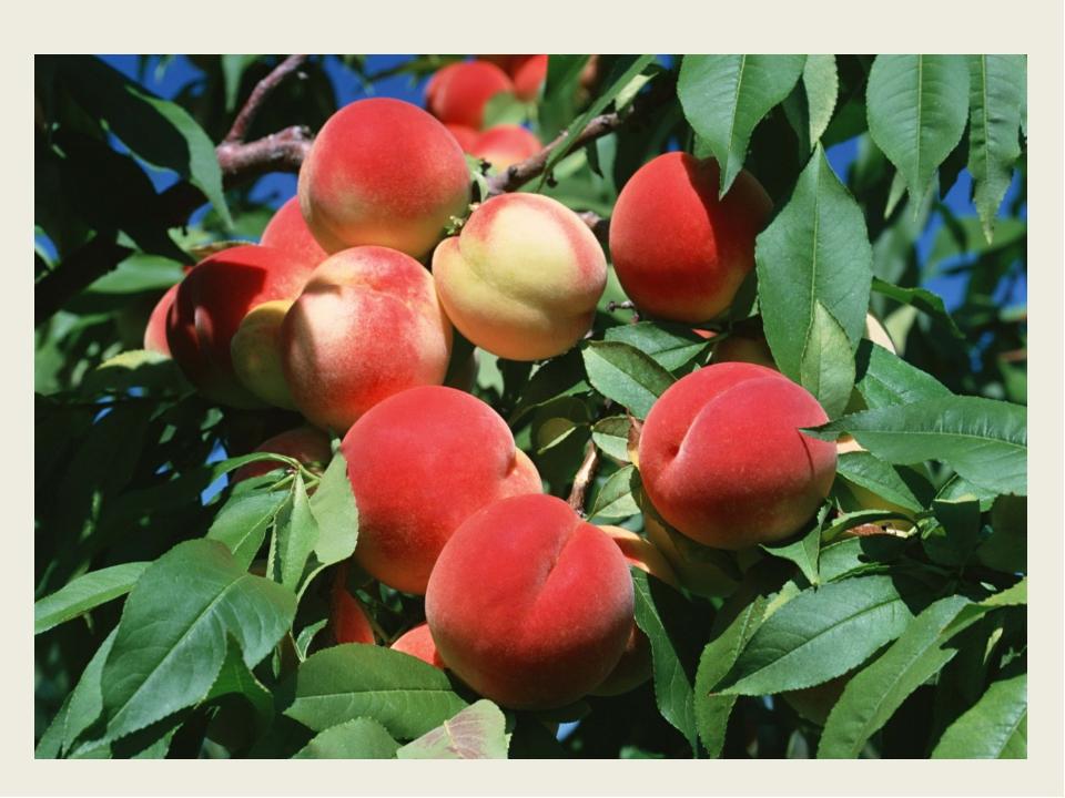 Плод этот сладкий И круглый, и гладкий. Внутри он душистый Снаружи пушистый...