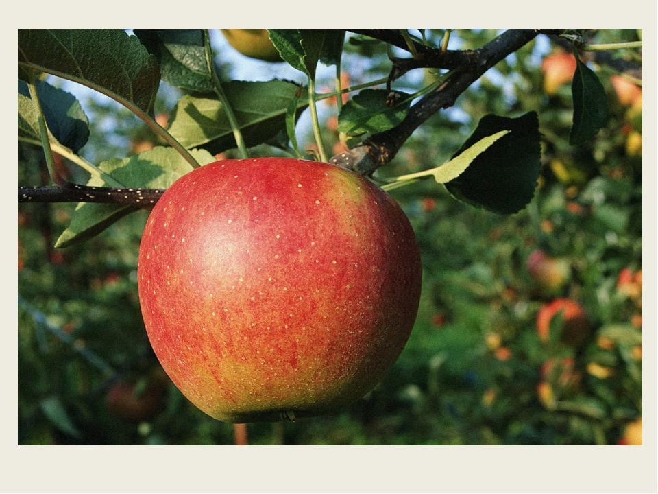 В саду на дереве растёт Красивый, вкусный, сочный плод. Я подскажу: на букву...