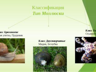 Классификация Тип Моллюски Класс Брюхоногие Виноградная улитка, Прудовик Клас