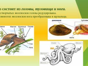 Тело состоит из головы, туловища и ноги. У двустворчатых моллюсков голова ред