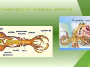 Внутреннее строение Головоногих моллюсков