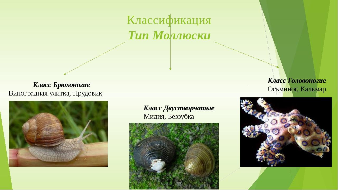 Классификация Тип Моллюски Класс Брюхоногие Виноградная улитка, Прудовик Клас...