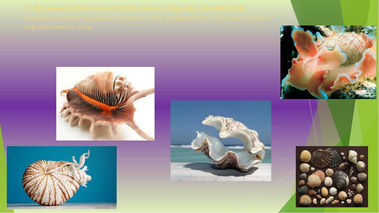 У большинства моллюсков тело покрыто раковиной. Раковина состоит наружного ро...