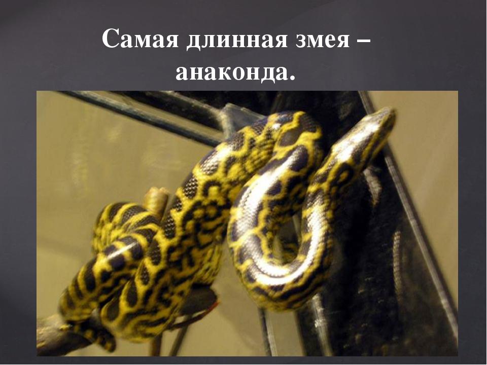 Самая длинная змея – анаконда.