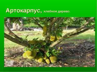 Артокарпус, хлебное дерево.