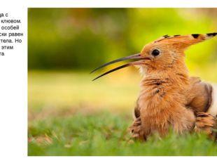 Удод — птица с интересным клювом. У некоторых особей он практически равен дли