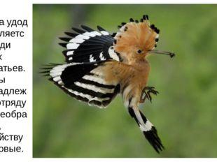 Птица удод выделяется среди своих собратьев. Удоды принадлежат к отряду Ракше