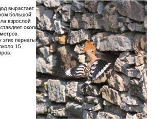 Птица удод вырастает не слишком большой: длина тела взрослой особи составляет