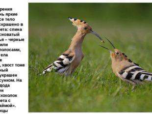 Окрас оперения имеет очень яркие оттенки, все тело птички раскрашено в разные