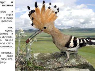 Что входит в рацион питания удодов? Эти пестрые и проворные птахи употребляют