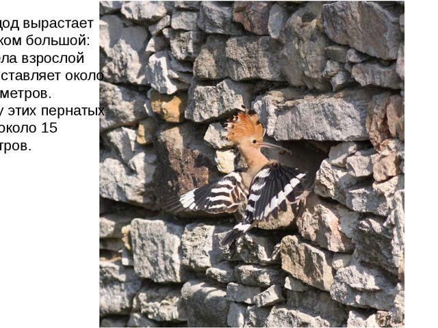 Птица удод вырастает не слишком большой: длина тела взрослой особи составляет...
