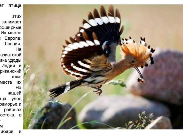 Где обитает птица удод? Популяция этих пернатых занимает довольно обширные те...